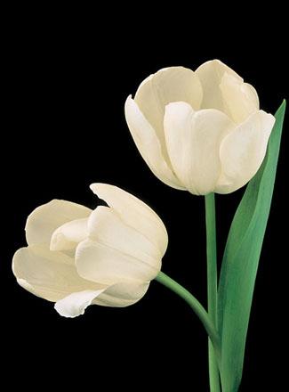 زهرة التيوليب